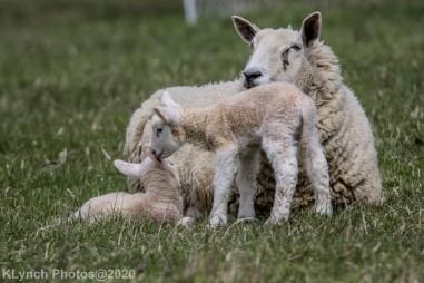 Sheep_66