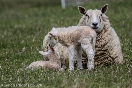 Sheep_67