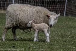 Sheep_68