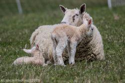 Sheep_69