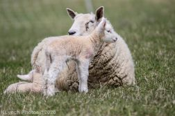 Sheep_71