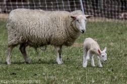 Sheep_72