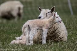 Sheep_73