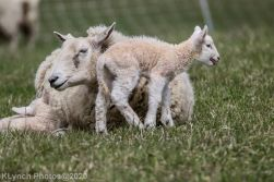 Sheep_74