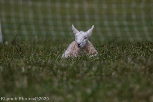 Sheep_75