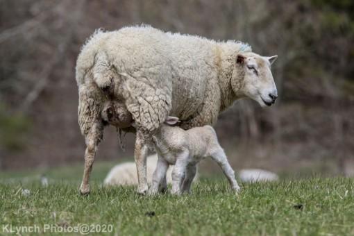 Sheep_78