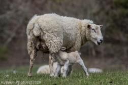 Sheep_79