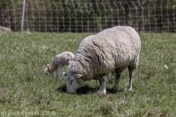 Sheep_8