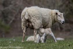 Sheep_80