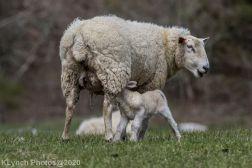 Sheep_81