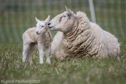 Sheep_82