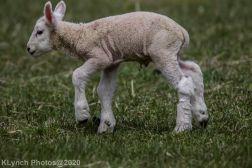 Sheep_83