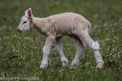 Sheep_84