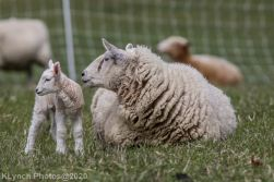 Sheep_85