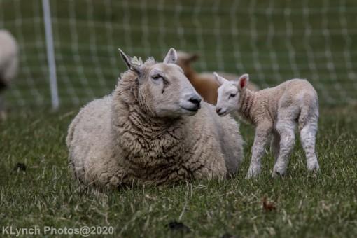 Sheep_86