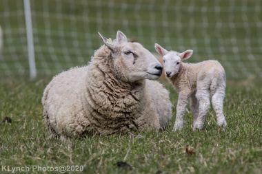 Sheep_87
