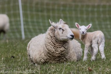 Sheep_88