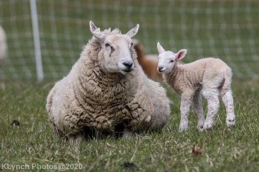 Sheep_89