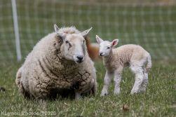 Sheep_90