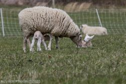 Sheep_91