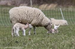 Sheep_92
