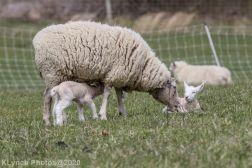 Sheep_93