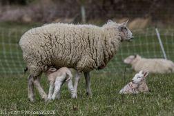 Sheep_94