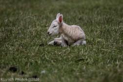 Sheep_95