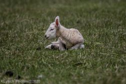 Sheep_96