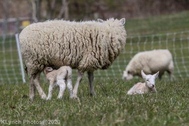 Sheep_98