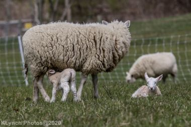 Sheep_99