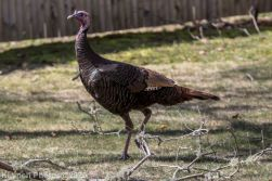 turkey_1