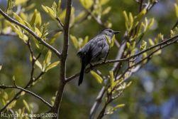 Catbird_2
