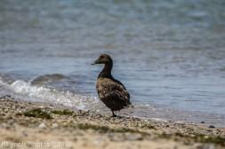 Duck_3
