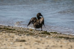 Duck_4