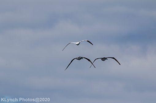 gannet_5
