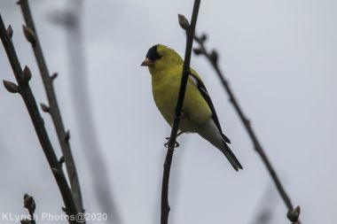 Goldfinch_10