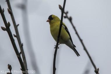Goldfinch_10
