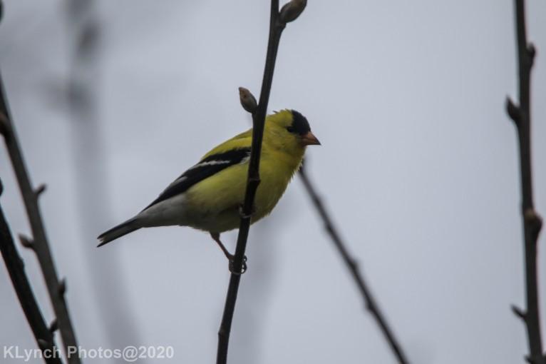 Goldfinch_11