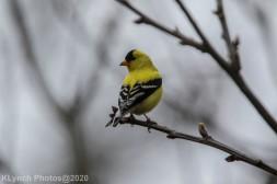 Goldfinch_3