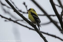 Goldfinch_5