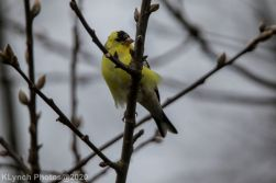 Goldfinch_6