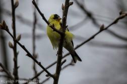 Goldfinch_6