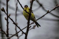 Goldfinch_7