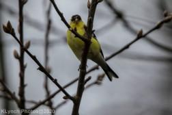 Goldfinch_7