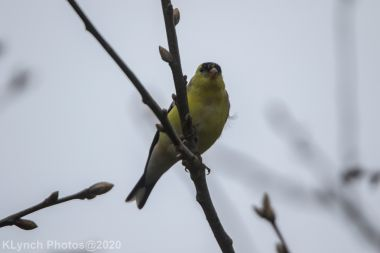 Goldfinch_9