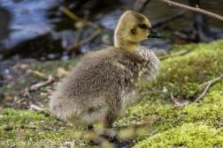 goslings_1