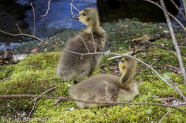 goslings_10