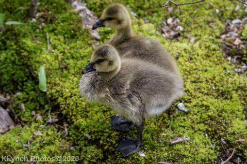 goslings_11
