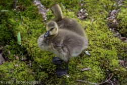 goslings_12